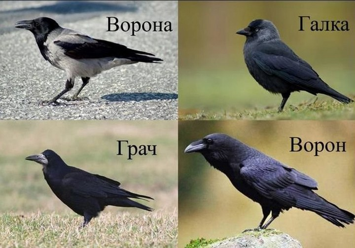Как отличить ворону, грача, ворона, галку